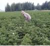 Апробация картофеля ведущим агрономом Унжаковой Ю 1816d