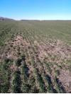 Зерновой клещ на полях 9d429