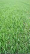 Лотошинский район оз. пшеница 84536