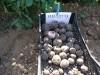 Необычайно полезный для здоровья сорт картофеля 3af47