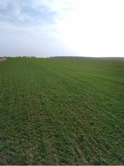 Посевы оз. пшеницы ca925