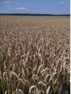 Пшеница мягкая яровая ЛИКАМЕРО КАЛУЖСКАЯ НИВА Дзержинский район 5676a
