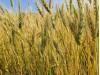 Пшеница накануне уборки2 2c843