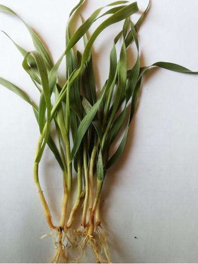 Растения пораженные корневыми гнилями 4eb08