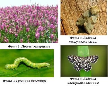 гусеница бабочка вредители экспарцет