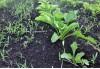 Сорная растительность на посевах сахарной свеклы 12fde