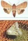 Фото18.1.Хлопковая совка бабочки cfe8d