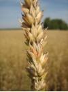 Фузариоз колоса оз.пшеницы f3c9d