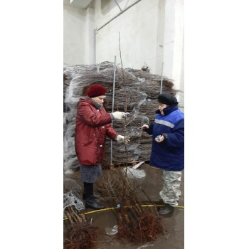 вед. агроном по семеноводству Рогова А. Н. Агеева М. Е. проводят сертификацию