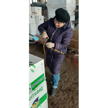 вед. агроном по семеноводству Рогова А. Н. проводят сертификацию