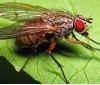 капустная муха 80952