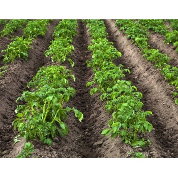 картофель1 815fd