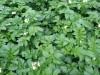 картофель fa535