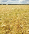 оценка качества зерна 2.jpg 1adcd