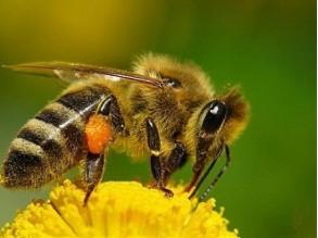 пчела 1b873