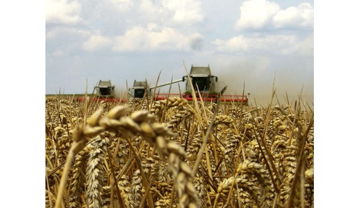 семена озимой пшеницы 5819d