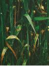 септориоз листьев1 cf6eb