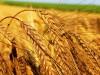 уборка зерновых copy