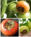 фото вершинная гниль плодов томатов 4f89d