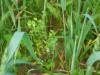фото сорная растит.на яровых 25.05.2018 6f258