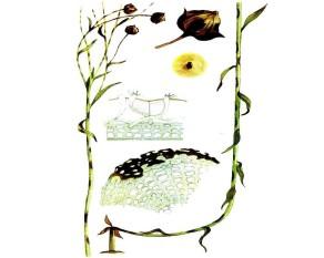 Побурение (ломкость стеблей)