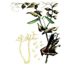 Оливковая плесень
