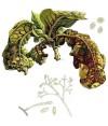 Ложная мучнистая роса (пероноспороз)