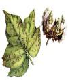 Макроспориоз (зональная пятнистость листьев)