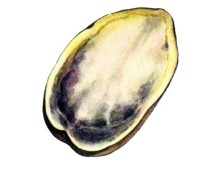 Почернение сердцевины клубней