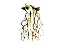 Бактериоз корней