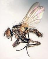 Весенняя капустная муха, малая капустная муха.