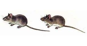 Домовая мышь.