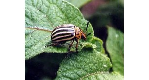 Колорадский жук.