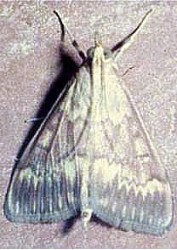 Кукурузный (стеблевой) мотылёк