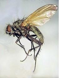 Летняя капустная муха, большая капустная муха.