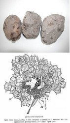 Стеблевая нематода картофеля (клубневой дитиленх).