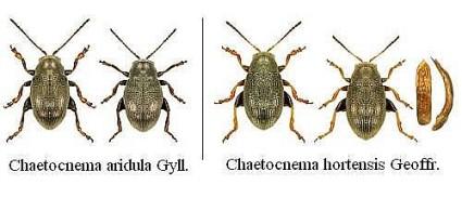 Большая стеблевая хлебная блошка; Chaetocnema hortensis Geoffr. - Малая (обыкновенная) стеблевая хлебная блошка.