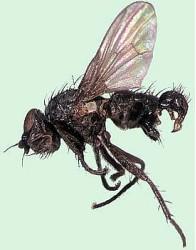 Черная пшеничная муха.