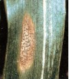 septorioz pshenicy ab57f