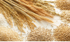 сортовой состав зерновых культур