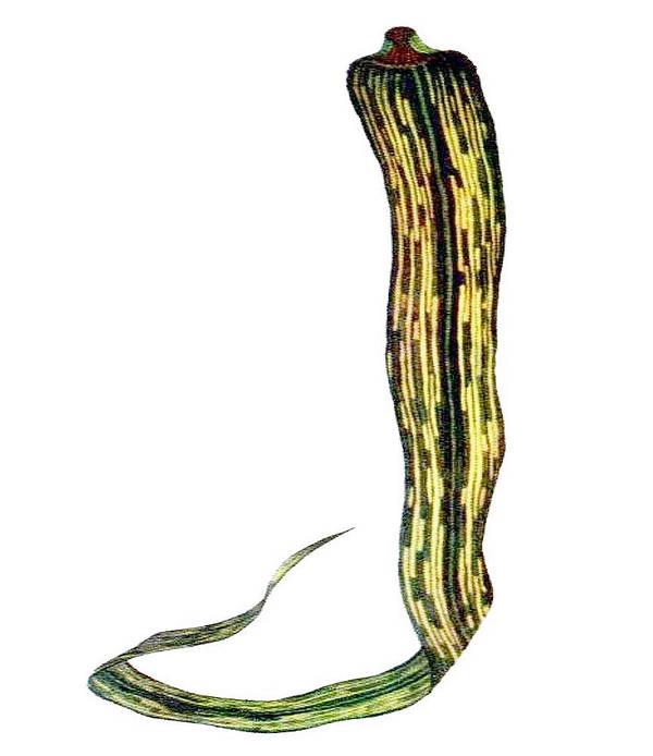 A prosztatitis gesztenye bordája